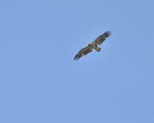 Hawk Circling