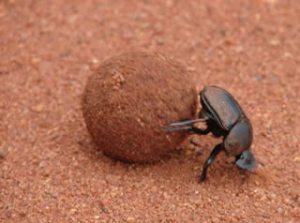 Sisyphean Dung Beetle